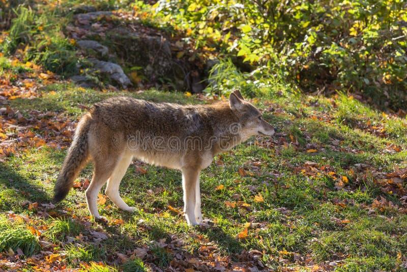 Een eenzame coyote in een bos royalty-vrije stock afbeeldingen