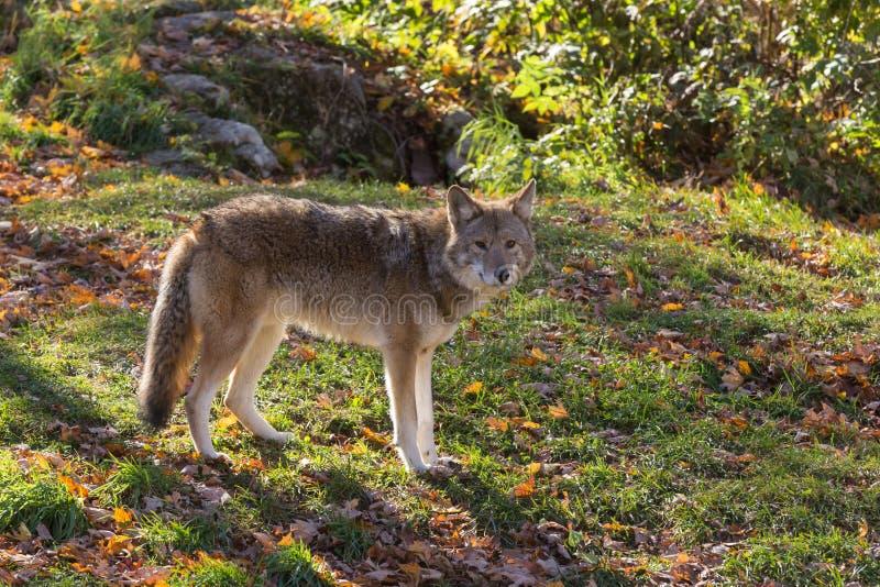 Een eenzame coyote in een bos royalty-vrije stock afbeelding