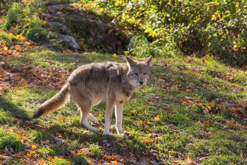 Een eenzame coyote in een bos stock afbeelding