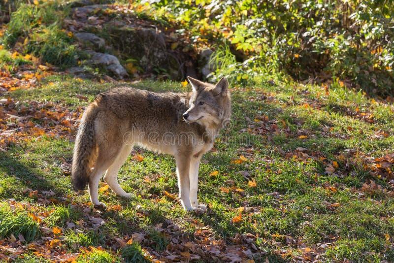 Een eenzame coyote in een bos stock foto's