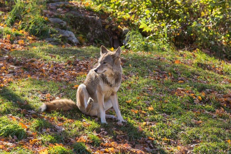 Een eenzame coyote in een bos stock foto