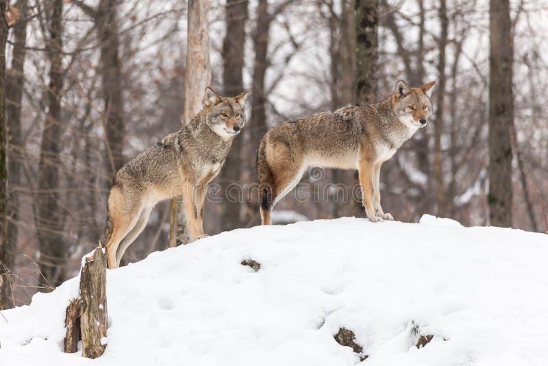 Een eenzame coyote in een de winterscène royalty-vrije stock afbeelding