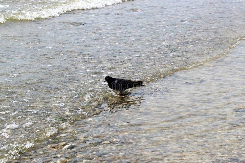 Een eenzame duif ziet de tegemoetkomende overzeese golven onder ogen stock fotografie