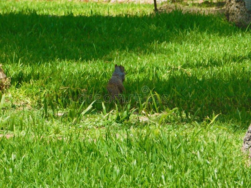 Download Een Eenzame Eekhoorn In Het Gazon Bij Zonlicht Stock Afbeelding - Afbeelding bestaande uit eekhoorn, park: 107707279