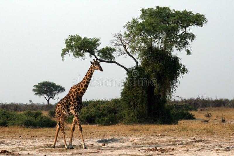 Een eenzame giraf stock foto's