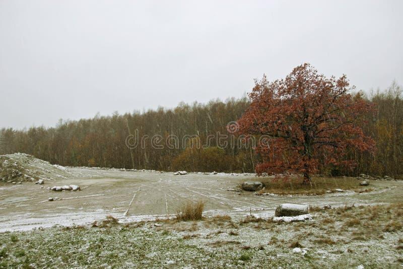 Een eenzame grote eiken boom met rode bladeren bevindt zich op het gebied tegen de achtergrond van de bos Eerste sneeuw Plaats vo stock fotografie