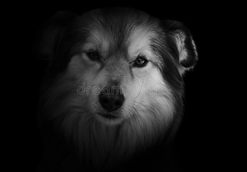 Een eenzame hond op een zwarte achtergrond bekijkt u Een droevig dier dat een eigenaar vereist royalty-vrije stock fotografie