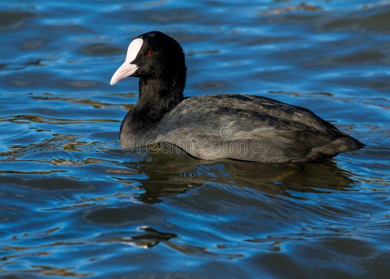 Een eenzame Koet, watervogel, die in rivier zwemmen stock afbeeldingen