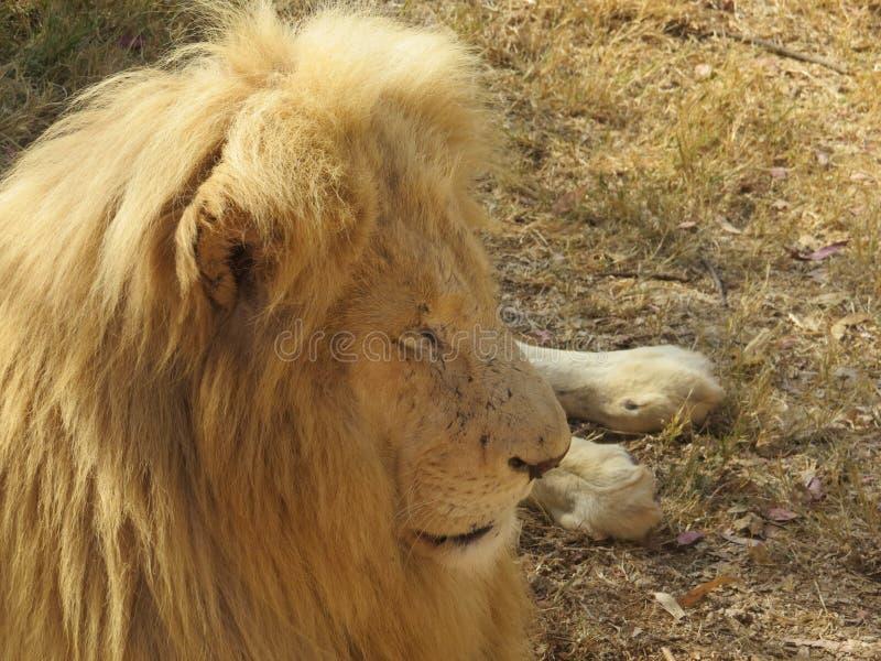 Een eenzame leeuw stock foto's