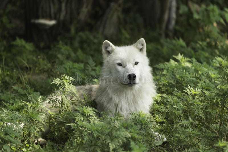 Een eenzame Noordpoolwolf die op een in de schaduw gesteld gebied rusten stock afbeelding