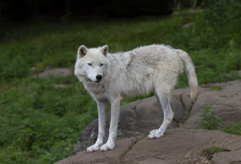 Een eenzame Noordpoolwolf die zich op een rots in de lente in Canada bevinden stock fotografie