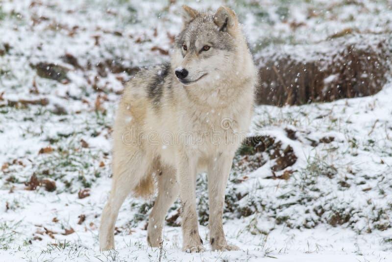 Een Eenzame Noordpoolwolf in een Noordpoolwolf van de winterscenelone in een de winterscène royalty-vrije stock foto