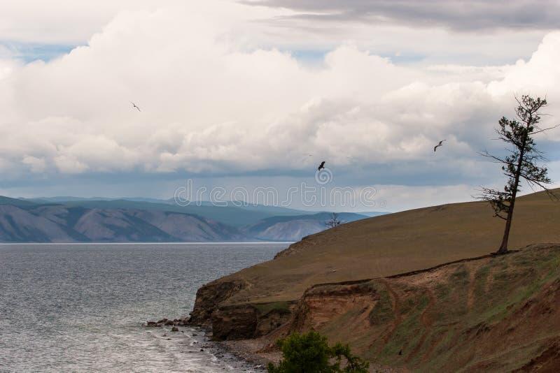 Een eenzame oude droge boom bevindt zich op de kust van Meer Baikal De zeemeeuwen van de vogelsvlieg royalty-vrije stock foto
