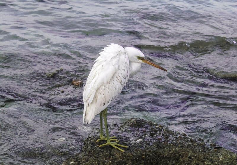 Een eenzame witte aigrette bevindt zich op de kust stock afbeelding
