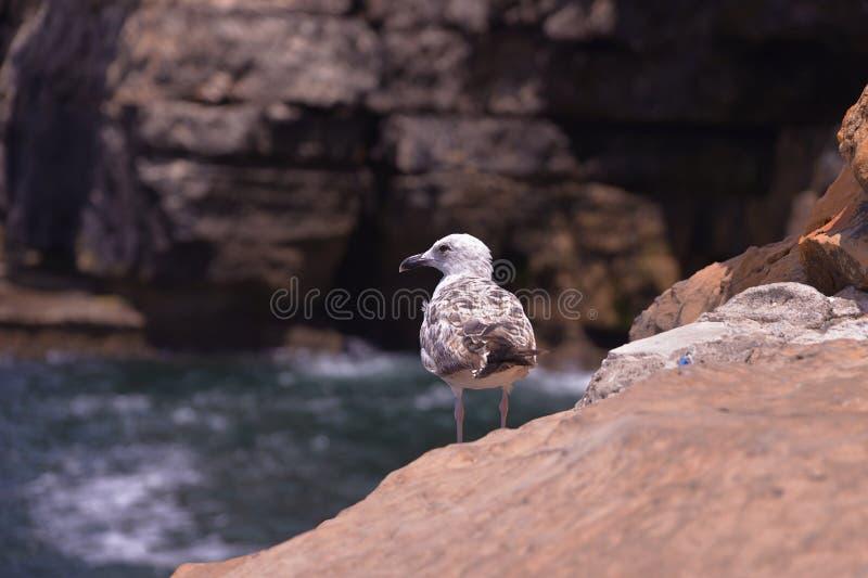 Een eenzame Zeemeeuw op de rotsachtige kust royalty-vrije stock foto