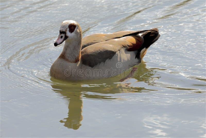 Een Egyptische gans op de meerkust - alopochen aegyptiaca royalty-vrije stock afbeelding