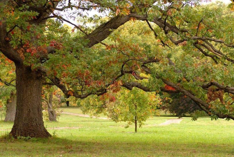 Een eiken boom in een park stock afbeelding