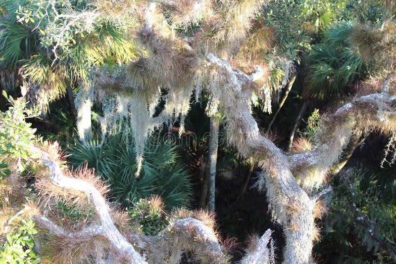 Een eikenboom met Spaans mos stock fotografie