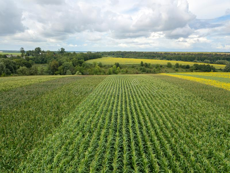 Een eindeloos gebied met graan op de achtergrond van een landelijk landschap en een blauwe bewolkte hemel op een de zomerdag royalty-vrije stock fotografie