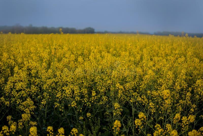 Een eindeloos gebied van verkrachting Bloeiende oranje bloemen stock foto