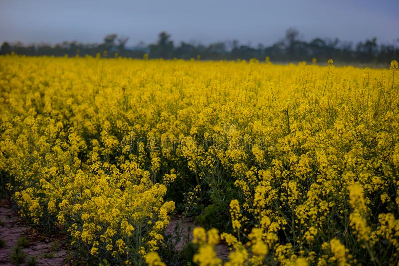Een eindeloos gebied van verkrachting Bloeiende oranje bloemen royalty-vrije stock afbeeldingen