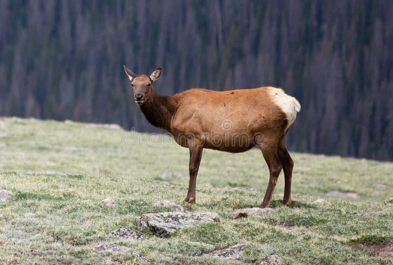 Een Eland die de Camera in een Alpiene Weide in Rocky Mountain National Park in Colorado bekijken royalty-vrije stock afbeeldingen