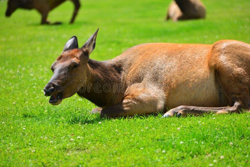 Een eland die in het groene gras liggen stock foto