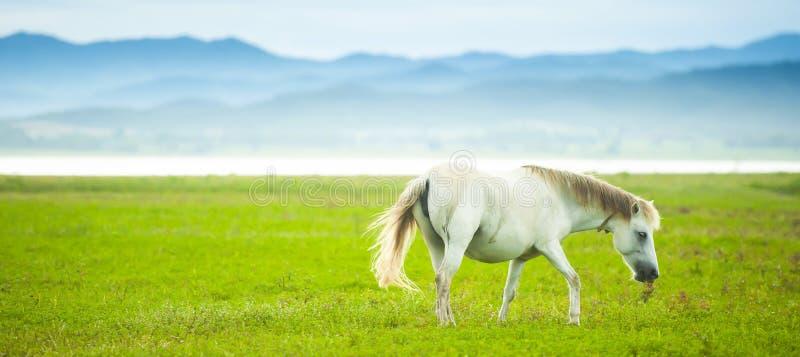 Een elegant wit paard die op het groene gebied in de lente lopen stock fotografie