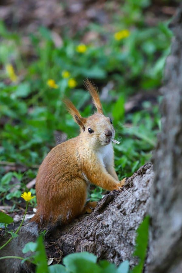 Een Europees-Aziatische rode eekhoorn Sciurus vulgaris met de schaal van zonnebloemzaad in zijn mond stock foto's