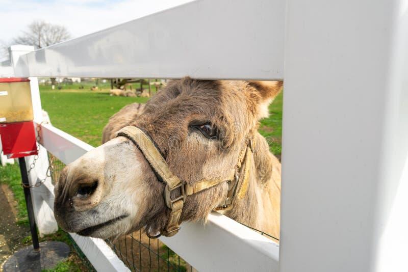 Een ezel die door een witte omheining gluren royalty-vrije stock afbeeldingen