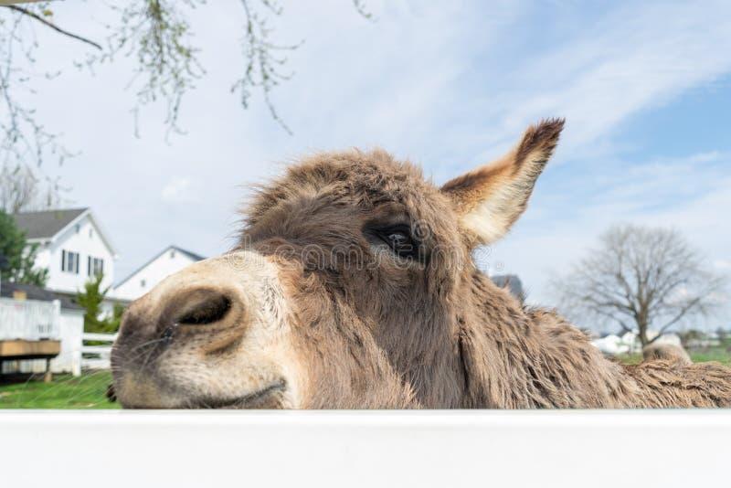 Een ezel die door een witte omheining gluren stock afbeeldingen
