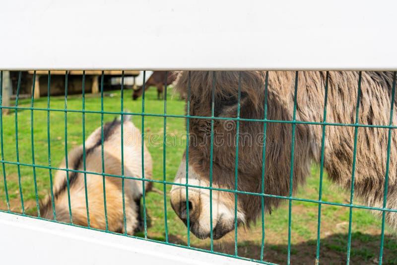 Een ezel die door een witte omheining gluren royalty-vrije stock foto