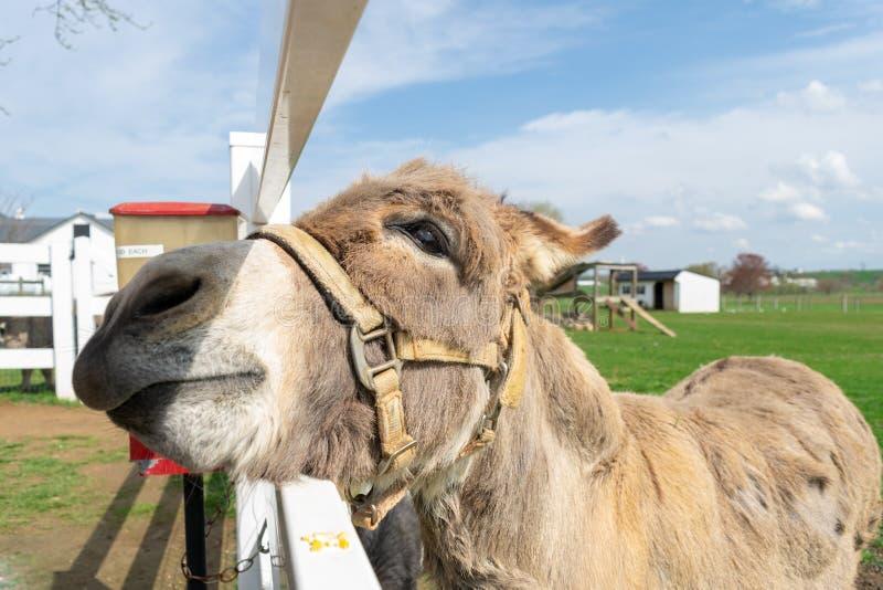 Een ezel die door een witte omheining gluren stock afbeelding
