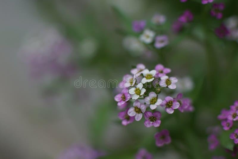 Een fabelachtige kleine witte en roze bloem, Zoete alyssum royalty-vrije stock afbeeldingen