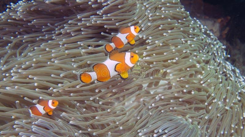 Een familie van Amphiprion-ocellaris of Gemeenschappelijke Clownfish op heteractis Magnifica stock foto's