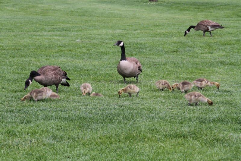 Een familie van Canadese ganzen met de gansjes die gras eten stock fotografie