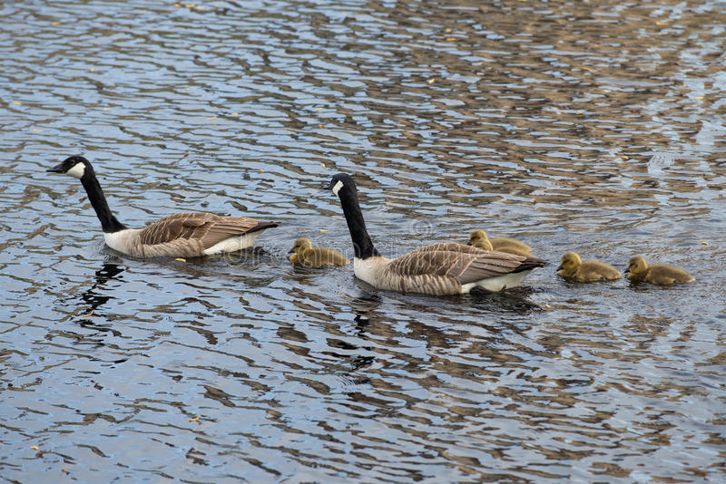 Een familie van Canadese ganzen op het meer royalty-vrije stock foto
