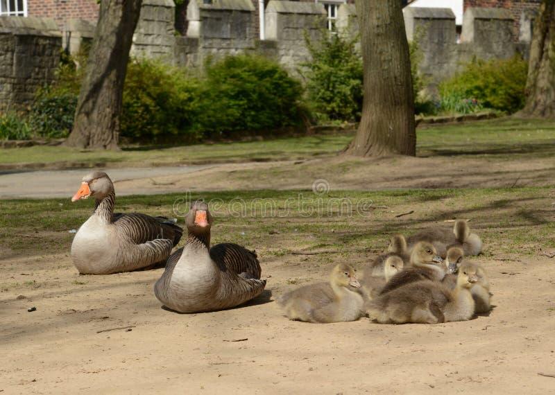 Een familie van grijze vertragingsganzen met ouders en gansjes stock afbeelding