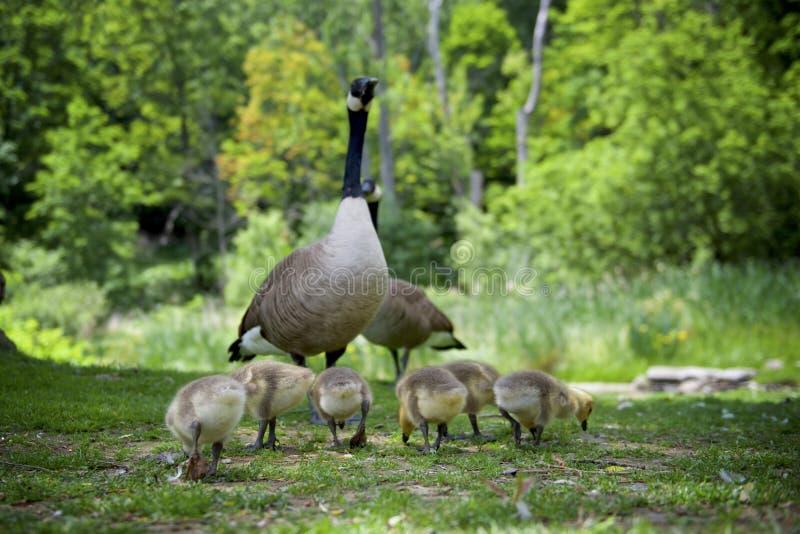 Een familie van het Canadese Ganzen vereren royalty-vrije stock afbeelding