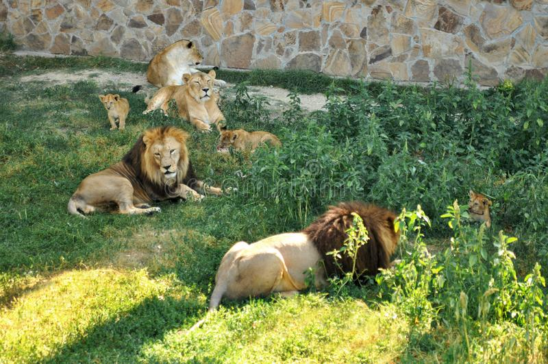 Een familie van leeuwen met welpen in het dierlijke Park dierentuin royalty-vrije stock foto