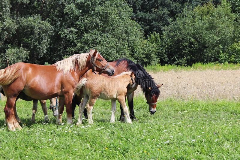 Een familie van rode werkpaarden weidt op weelderig groen gras Hengsten en volwassen tractiepaarden Veeteelt en de landbouw Educa royalty-vrije stock foto's
