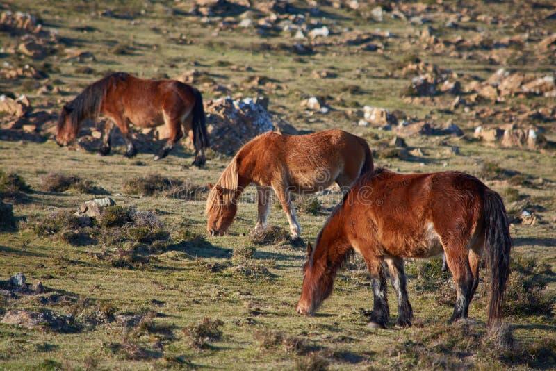 Een familie van wild paarden het eten royalty-vrije stock afbeeldingen