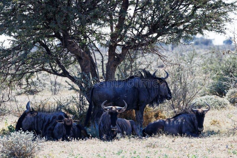 Een familiekudde van het blauwe meest wildebeest rusten, het Nationale Park van Etosha, Namibië stock afbeeldingen