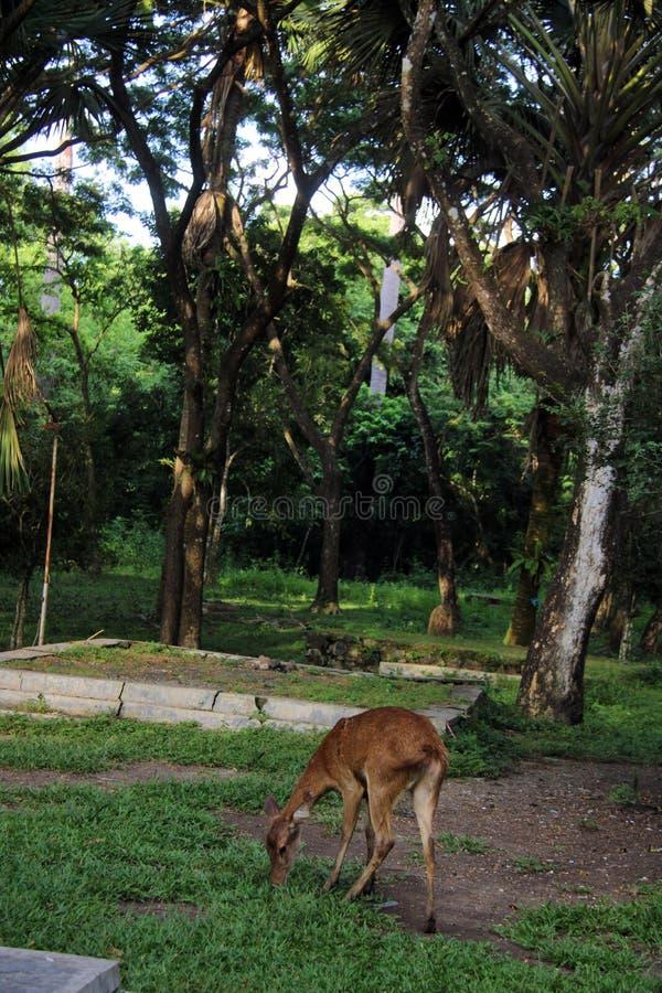 Een Fawn in het nationale park Alas Purwo stock afbeeldingen