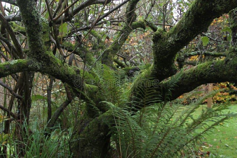 Een feeboom met groen mos wordt behandeld dat De herfst in Wicklow, Ierland royalty-vrije stock foto's