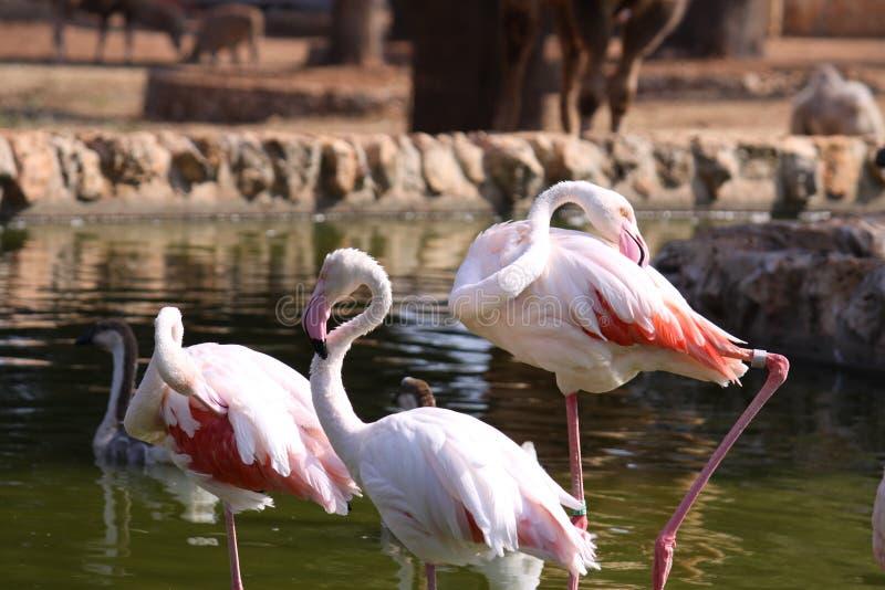 Een flamingogroep stock fotografie
