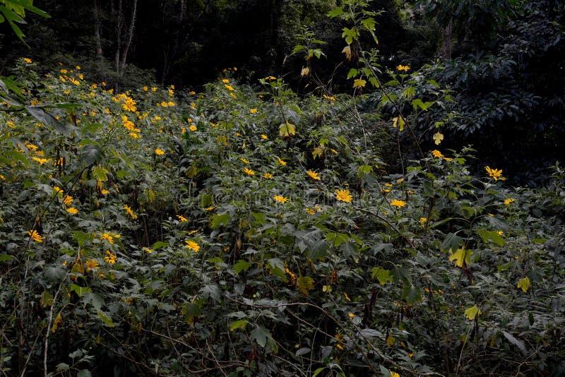 Een flard van Tithonia-diversifolia, zonnebloemboom, geel, in Na royalty-vrije stock fotografie