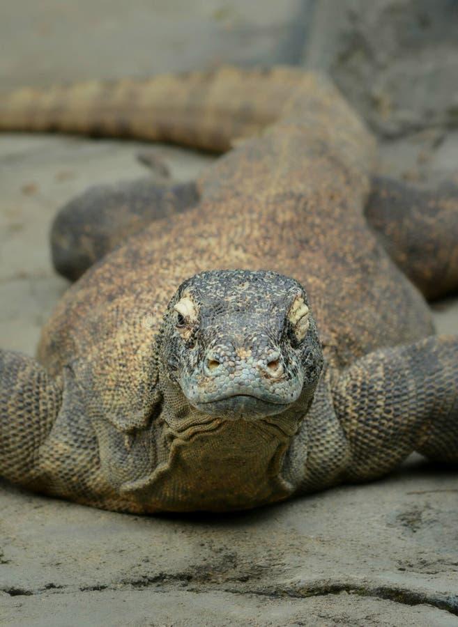 Een Flirty Komodo royalty-vrije stock foto