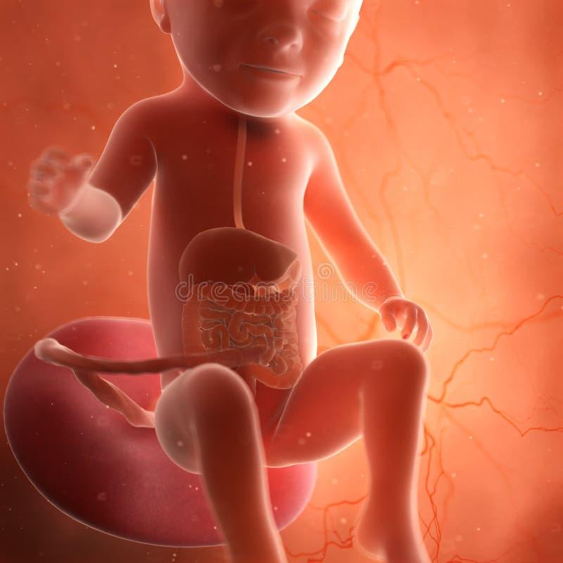 Een foetus spijsverteringssysteem royalty-vrije illustratie