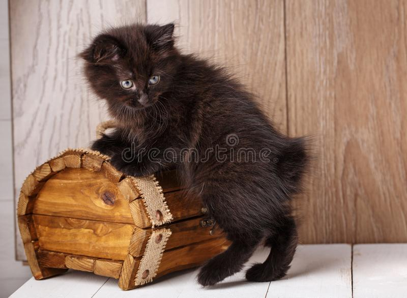 Een foto van de grappige kat van de bleack Amerikaanse bobtail royalty-vrije stock foto